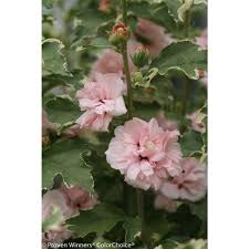 proven winners 4 5 in qt sugar tip rose of sharon hibiscus