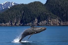 fourth ever humpback whale strands in seattle area u2014 sr3 sealife