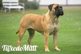 belgian shepherd hypoallergenic hypoallergenic dog breeds do they exist tuxedomutt