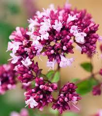 origanum rosenkuppel ornamental oregano