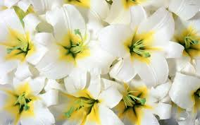 white lilies white lilies wallpaper flower wallpapers 54115