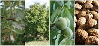 why you should grow walnuts juglans regia permaculture magazine