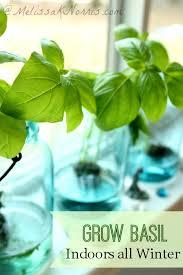 Herb Garden Winter - grow basil indoors without dirt all winter fresh herbs herbs