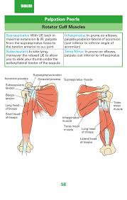 Subscapularis And Supraspinatus 58 Shoulder Palpation Pearls Rotator Cuff Muscles Supraspinatus