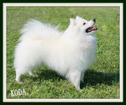 american eskimo dog toy for sale home