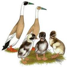 where to buy duck 32 best efowl ducks images on ducks homesteads and