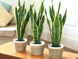 plantes dans une chambre plante chambre dans feng shui amanda ricciardi