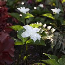 flower plants perennials flowers perennials plants white flower farm
