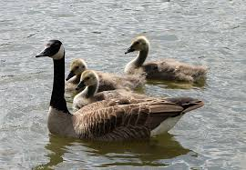 6 honking facts about canada geese mental floss