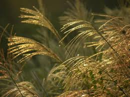 134 best ornamental grasses sedges rushes and restios images on
