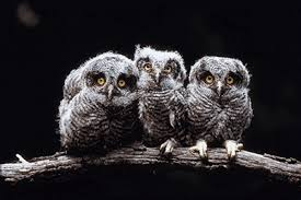 Where Does The Barn Owl Live Owls Facts Science Trek Idaho Public Television