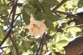 adansonia digitata l plants of the world online kew science
