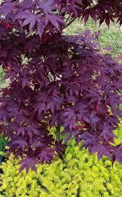 native plants of japan best 25 japanese maple garden ideas on pinterest bloodgood