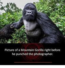 Gorilla Memes - 25 best memes about mountain gorilla mountain gorilla memes
