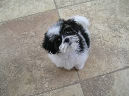shichons haircut 36 best shichons like izzy images on pinterest doggies cubs and
