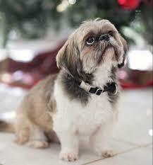 bichon frise nashville bichon frise adoption listings adopt a bichon frise dog or puppy