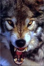 Mad Wolf Meme - image from http s hswstatic com gif wolf bearing teeth jpg