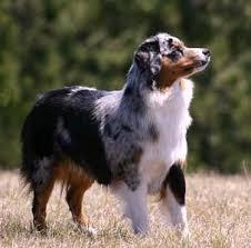 triple r australian shepherds 77 best mini australian shepherd puppies images on pinterest