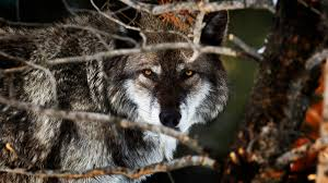 tips for seeing wolves and bears in yellowstone u2013 cool green science