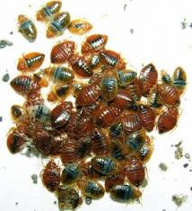 What Do Exterminators Use To Kill Bed Bugs Bed Bug Treatment How To Kill Bed Bugs For Good