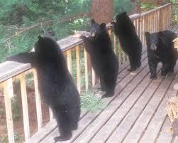 north american bear center when bears steal human food don u0027t