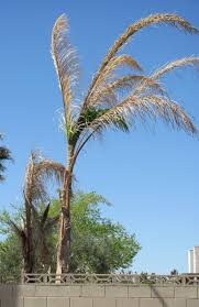 nevada palm tree help and questions nv palm tree community