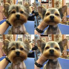 repinned before u0026 after yorkie grooming teacup dogs pinterest