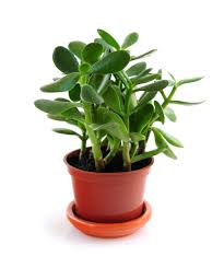 Outdoor Potted Plants Full Sun by Jade Plants How To Plant Grow And Care For Jade Plants The