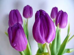 wallpaper bunga tulip hd bunga tulip wallpapers and photos hd flowers wallpapers