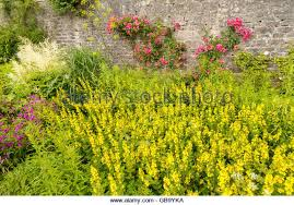 Yellow Climbing Flowers - climbing flowers stock photos u0026 climbing flowers stock images alamy
