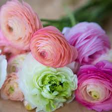 Ranunculus Tecolote Ranunculus Pastel Lace Collection U2013 Easy To Grow Bulbs