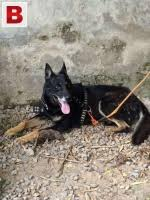 belgian shepherd for sale in islamabad 4 months old very healthy active and playful belgian shepherd