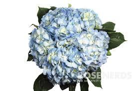 wholesale hydrangeas wholesale blue select hydrangea bulk blue select hydrangea