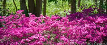 Fertilizer For Flowering Shrubs - the well fed garden feeding acid loving plants