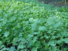 leafy greens take center stage in the fall vegetable garden