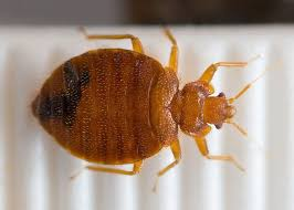 Bed Bugs Smell How To Get Rid Of Bed Bugs The Signs That Say You Have Them And