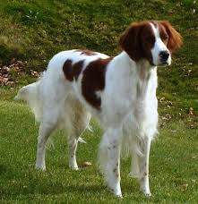 types of setter dog breeds irish red and white setter breed guide learn about the irish red