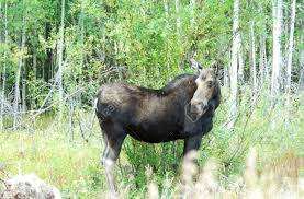female moose in colorado stock photo picture and royalty free