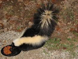 want to repel skunks effective wildlife solutions