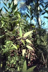 native plants tasmania plantfiles pictures native olive privet mock olive notelaea