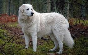 havanese vs bichon frise great pyrenees vs kuvasz dog breed atlas