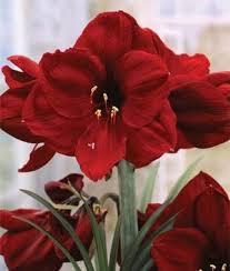Amaryllis Flowers Amaryllis