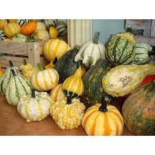 ornamental gourd pumpkin 100g approx 1150 seeds seedarea