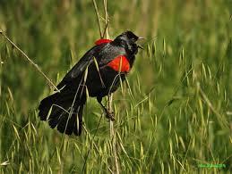 Indiana birds images Bird identification guide bird watcher 39 s digest jpg