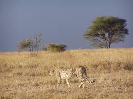 cheetah and lion by sean u0026 jamie
