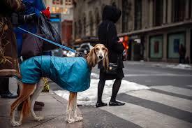 westminster australian shepherd 2014 the 2014 westminster dog show photos the big picture boston com