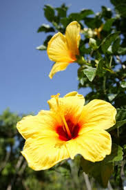 Yellow Hibiscus Flowers - 50 state flowers to grow anywhere yellow hibiscus hibiscus and