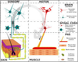 Nervous System Human Anatomy Human Body Nervous System Lessons Tes Teach