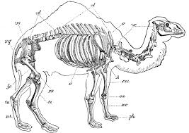 camel skeleton jpg 1447 1026 animal anatomy science