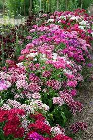 sweet william flowers sweet william flowers garden gardening from seed